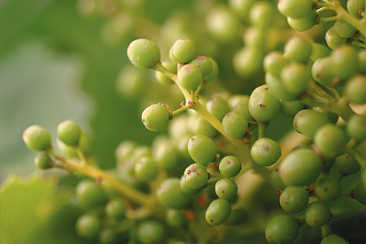 a creative writing of should i grow grapes An orange is a type of citrus fruit which people often eat  this made them a very good orange to grow commercially but they could not grow from seed.